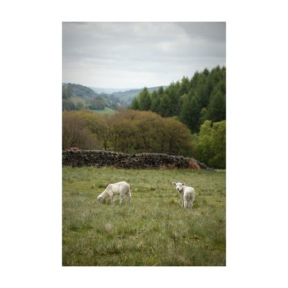 Lambs Over Hathersage