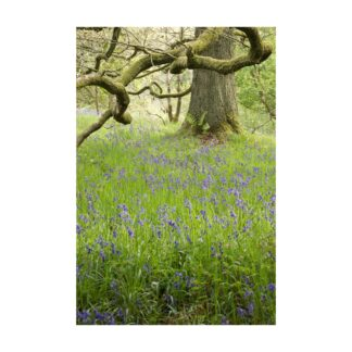 Woodland Bluebells Portrait